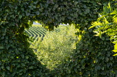 Heart-shaped clipped window in hornbeam hedge, borrowed view of vineyard