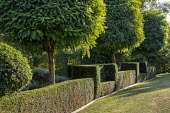 Clipped benches in topiarised yew hedge under row of Robinia pseudoacacia 'Umbraculifera'