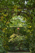 Framed view through archway in hornbeam hedge to peony in metal plant support, garden 'room'