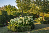 Hydrangea in octagonal clipped box hedge enclosure