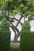 Multi-stemmed tree, topiarised box hedge enclosure
