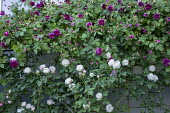 Roses climbing over house wall