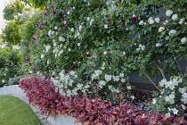 Heuchera 'Peach Flambé' border edging, Rosa 'Erinnerung an Brod', Rosa 'Winchester Cathedral', Rosa 'Kew Gardens'