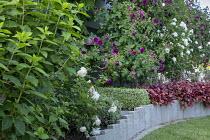 Concrete border edging, Heuchera 'Peach Flambé', roses