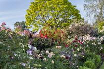 Rose garden, phlomis, catalpa