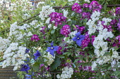 Rosa 'Philadelphus', Rosa 'Perennial Blue' and clematis climbing over metal plant support