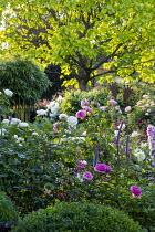 Rose garden, catalpa, delphiniums