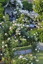 Rose garden, Rosa 'Rambling Rector', Rosa 'Tranquility', Rosa 'Mon Jardin et ma Maison', Rosa 'Sombreuil', Rosa 'Glamis Castle'
