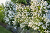 Rose climbing over metal frame underplanted with nepeta
