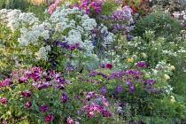 Rose garden, Rosa 'Rhapsody in Blue', Rosa 'Princesse Sybilla', Rosa 'Francine Austin', Rosa 'Susan Williams Ellis', Rosa 'Pure Liberté, Rosa 'Philadelphus', Rosa 'Perennial Blue', Rosa 'Garden of He...