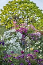 Rose garden, catalpa, Rosa 'Rhapsody in Blue', Rosa 'Pricesse Sybilla', Rosa 'The Pilgrim', Rosa 'Philadelphus', Rosa 'Perennial Blue', Rosa 'Garden of Hex', Rosa 'Rambling Rosie'