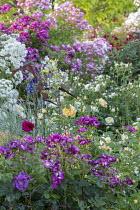 Rose garden, catalpa, heuchera, Rosa 'Rhapsody in Blue', Rosa 'Princesse Sybilla', Rosa 'Francine Austin', Rosa 'Susan Williams Ellis', Rosa 'Pure Liberté, Rosa 'Philadelphus', Rosa 'Perennial Blue',...