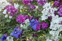 Rosa 'Philadelphus', Rosa 'Perennial Blue' and clematis