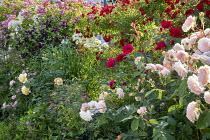 Rose garden, clematis
