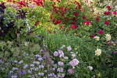 Rose garden, phlomis, metal bird ornaments, Rosa 'Rambling Rosie', Rosa 'The Dark Lady'