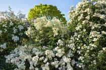 Rosa 'Louis Rambler', Rosa 'Flash', Rosa 'Clematis Rose', Clematis recta