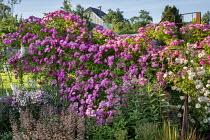 Roses, clematis, penstemon, Digitalis purpurea, heuchera