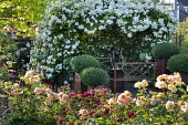 Rose garden, benches under rose arbour, clipped Buxus sempervirens in pots