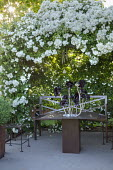 Metal bench under Rosa 'White Flight' arbour, aeonium in table