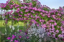 Roses, clematis, Allium cristophii, penstemon, Digitalis purpurea, heuchera