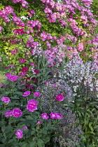 Rosa 'Reine des Violettes', Rosa 'Hugo Maweroff', clematis, Allium cristophii, penstemon