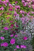 Roses, clematis, Allium cristophii, penstemon