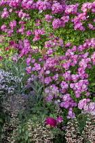 Rosa 'Hugo Maweroff', clematis, Allium cristophii, penstemon, heuchera