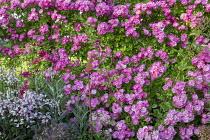 Roses, penstemon