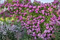 Roses, clematis, Allium cristophii, penstemon, Digitalis purpurea