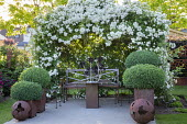 Metal bench under Rosa 'White Flight' arbour, clipped Buxus sempervirens mounds in tiered large containers
