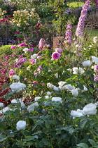 Rose garden, delphiniums, Rosa 'Gertrude Jekyll', 'Tranquillity', Rosa 'Reine des Violettes', Rosa 'Louise Odier'