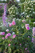 Rosa 'Gertrude Jekyll', delphiniums, Rosa 'The Pilgrim' climbing over screen