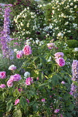 Rosa 'Gertrude Jekyll', Rosa 'Tranquility', delphiniums, Rosa 'The Pilgrim' climbing over screen