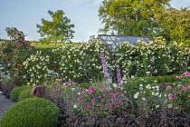Rose garden and box parterre, delphiniums, heuchera