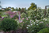 Rose garden, delphiniums, Rosa 'The Pilgrim', Rosa 'Burgundy Rambler' and Rosa 'Hugo Maweroff' climbing over screens, Rosa 'Gertrude Jeckyll', Rosa 'Tranquillity'