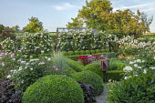 Rose garden and box parterre, Dianthus barbatus