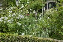 Rose garden, foxgloves, box hedge