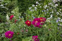Rosa 'James Mason', geraniums, and foxgloves