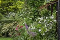 Rosa 'Perennial Blush' and Rosa 'James Mason', alliums, foxglove, Cornus kousa, metal pergola