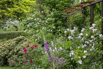 Rosa 'Perennial Blush' and Rosa 'James Mason' in border, alliums, foxglove, Cornus kousa, metal pergola