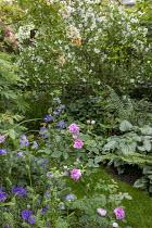Grass path, Rosa 'Ghislaine de Feligonde', Rosa x centifolia 'Muscosa', philadelphus, geranium, brunnera