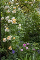 Rosa 'Ghislaine de Feligonde', Rosa x centifolia 'Muscosa', philadelphus