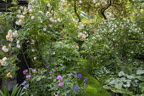 Grass path, Rosa 'Ghislaine de Feligonde', Rosa x centifolia 'Muscosa', brunnera, Philadelphus 'Belle Etoile', geranium