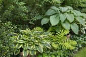 Ivy groundcover, Hosta 'Mama Mia' and Hosta 'Niagara Falls' in pots, Osmunda claytoniana