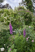 Rose arbour, Digitalis purpurea, Rosa 'Goldfinch'