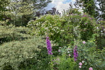 Rose arbour, Digitalis purpurea, Cornus controversa 'Variegata', Rosa 'Goldfinch', Rosa 'Perennial Blue'