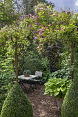 Table and chairs under rose arbour, Rosa 'Perennial Blue', hosta in container, clipped Buxus sempervirens