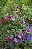 Rosa gallica var. officinalis and geranium