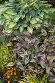 Persicaria 'Silver Dragon', hosta in pot