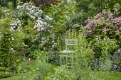 Wooden chair in rose garden, arch with Rosa 'Rambling Rector', Rosa 'Parviflora'